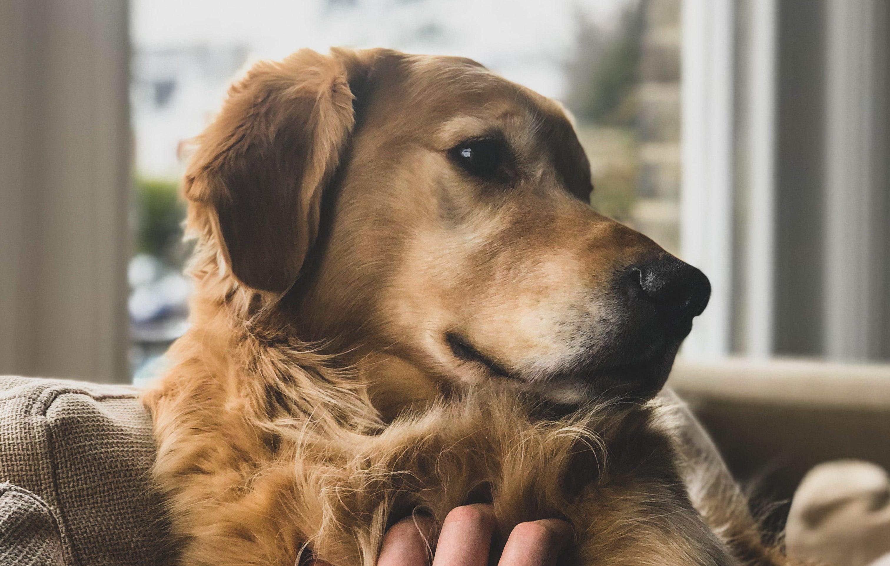 Fürsorge für ältere Hunde – Das solltest Du wissen